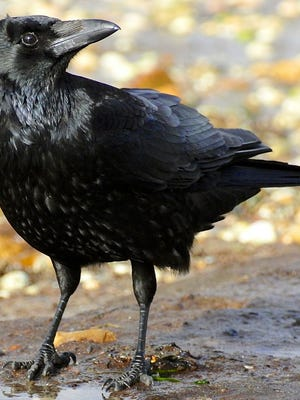 Corvus corone, a carrion crow scavenging on the beach near Canford Cliffs, Poole, Dorset, UK.