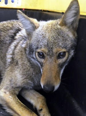 In this photo provided by the New York City Police Department's Special Operations Division, a female coyote lay in an animal carrier after being captured by Special Operations officers on Manhattan's west side, Saturday, April 25, 2015, in New York. The police released the coyote to the custody of the American Society for Prevention of Cruelty to Animals, where she is being cared for. A string of recent sightings in Manhattan has drawn new attention to the wily critters that have been spotted periodically in New York since the 1990s.(New York City Police Department Special Operations Division via AP)