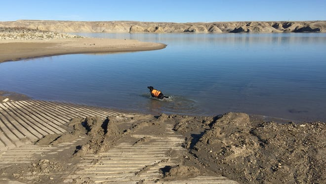 Ismay, a black lab trained to detect aquatic invasive mussels, takes a romp through the water at Tiber Reservoir Friday. Ismay and other dogs are searching for adult quagga and zebra mussels at Canyon Ferry Saturday.