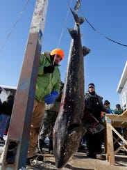Mason Deja weighs a sturgeon caught by Tim Streblow of Fond du Lac on opening day of the 2016 season at Wendt's on the Lake on Lake Winnebago. The sturgeon weighed 73.1 pounds and was 68 inches long.