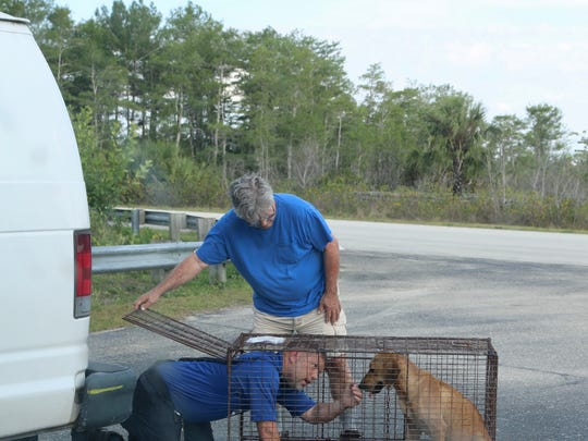 Bruce Davis helps a DAS officer put Wilbert Roy in a cage after finding him in Big Cypress National Preserve in mid-May.