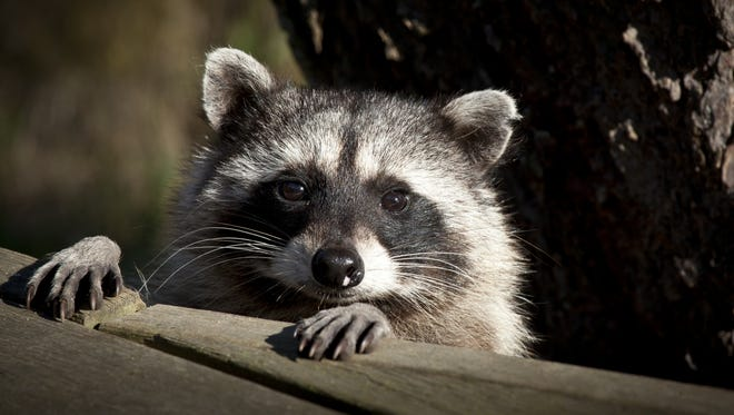Louisiana police say a raccoon jumped into a garbage truck driver's cab and caused a wreck.