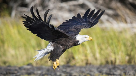 File: According to the CSW, 21 eagles have been found