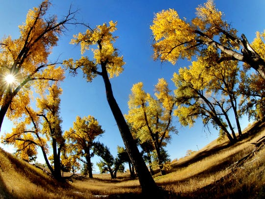 A grove of cottonwood trees show their fall color near