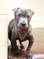 Dorothy, a four-month old Sharpei mix who was stolen from the Fox Valley Humane Association on Saturday.