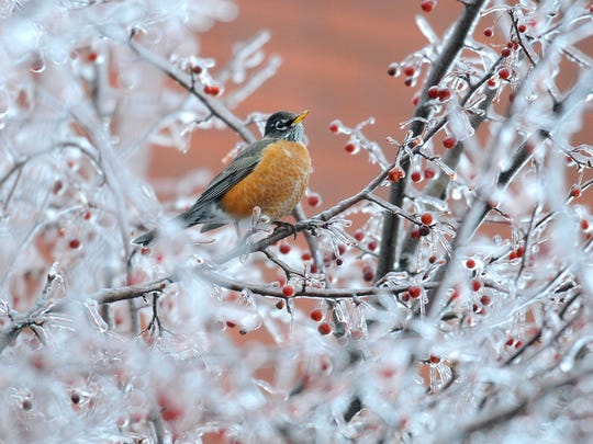 An American Robin searches for food on a frozen tree in Augusta, Maine, Sunday, Dec. 22, 2013.