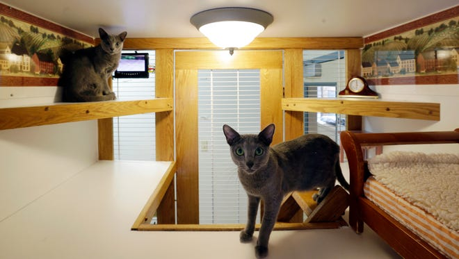 Russian blue cats, Anastasia and Boris, are seen in their enclosure with small beds, video and a clock, for pampering cats at Morris Animal Inn in Morristown, N.J. on Aug. 4, 2015.