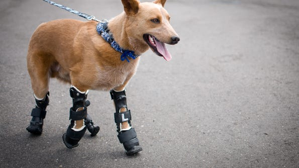 Naki'o, a red heeler mix breed, was the first dog to receive four prosthetic limbs.