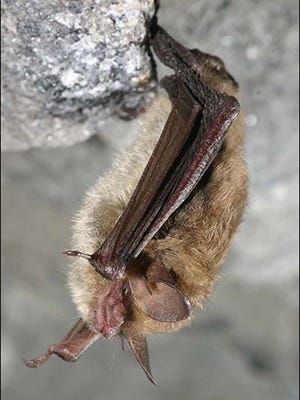 A Northern long-eared bat, seen here, is being proposed for protection under the federal Endangered Species Act.