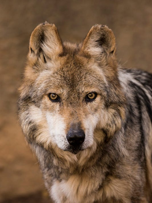 636288908244670960-mexican-wolf-el-paso-zoo-selby-5889.jpg