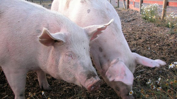 Iowa is the nation's largest pork producer, raising about 50 million pigs annually.