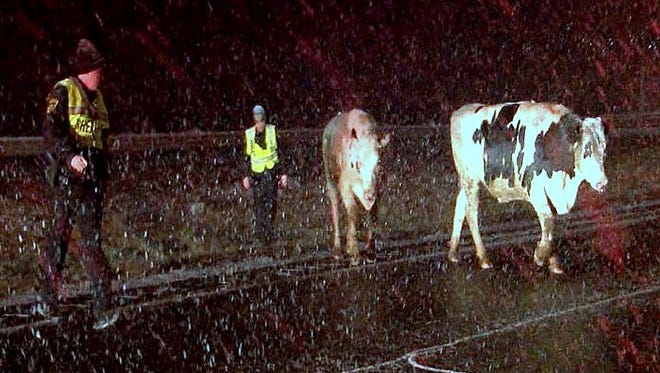 Emergency workers attempt to round up cows that were wandering on I-86 overnight Friday following a tractor-trailer crash.