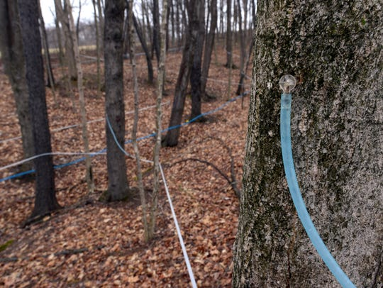 Plastic collection lines run from tree tap to tree