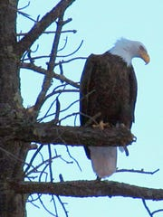 The eagle watches for prey from a high vantage point.