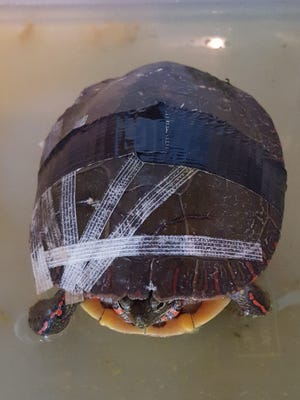 A painted turtle is taped up and recovering at the Howell Nature Center after being hit by a vehicle.