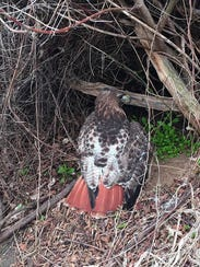 This red-tailed hawk collided with a truck on Route