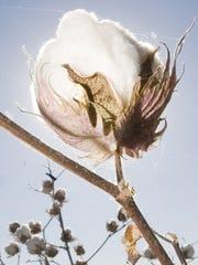 Cotton plant in Avondale.
