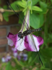 A dragonfly scans for prey perched on a petunia.