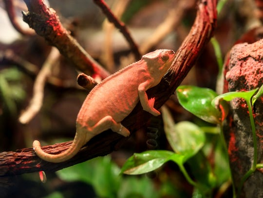 A Panther Chameleon sits on a tree branch on Feb. 3 in his habitat at Belle Isle Aquarium in Detroit, Michigan.