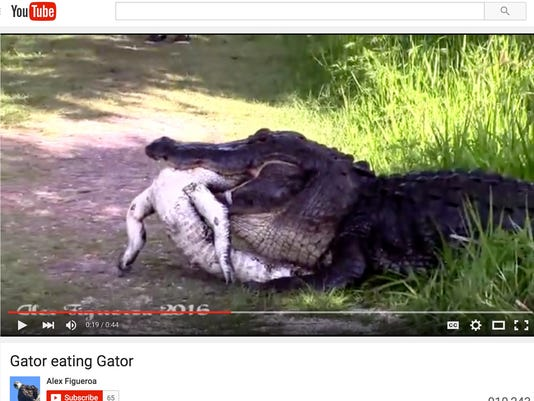 Watch massive alligator eats another alligator in florida 635962991759749380 screen shot 2016 04 15 at 639 alex figueroa captured video of an alligator eating a smaller freerunsca Image collections