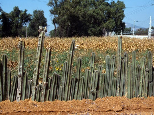 Cuttings of fence post cactus have long been living fences in rural Mexico where the species is common.