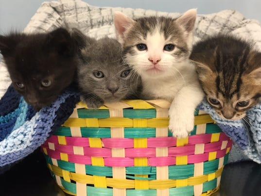 635958875902489335-MAIN-ART-basket-of-kittens.jpg