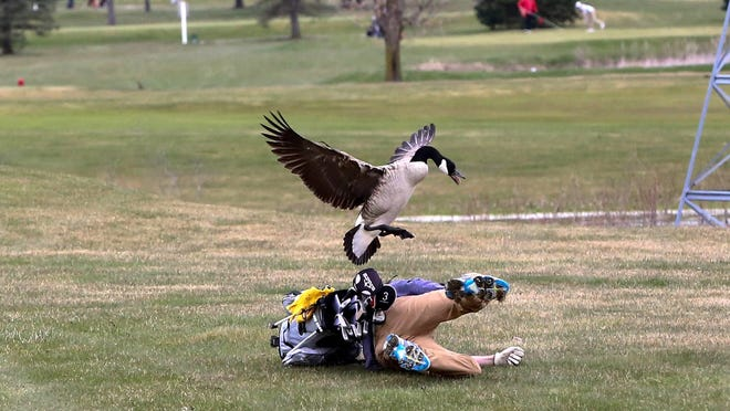 goose attack Photo: Devon Pitts via Detroit Free Press