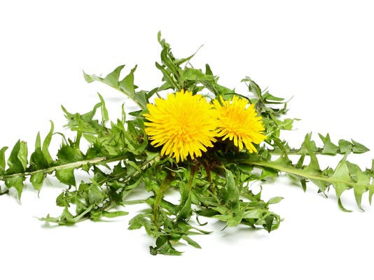 Dandelion flowers with leaves.