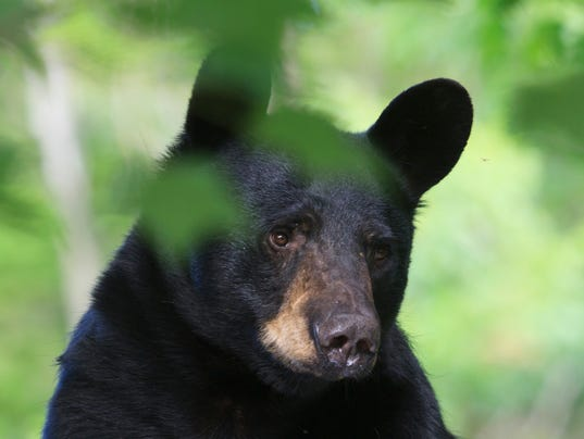 New jersey bear permits are a bargain for New york state fishing license online