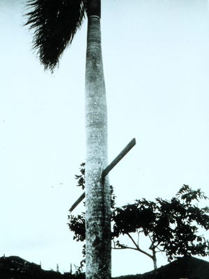 Winds during a 1928 hurricane in Puerto Rico drove a 2x4 through a palm tree.