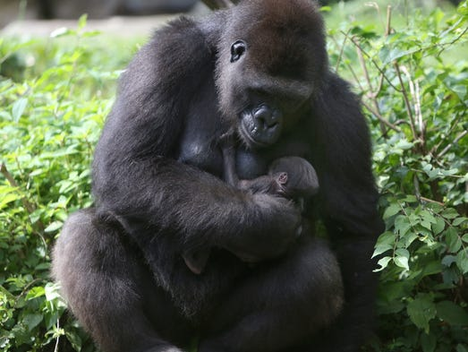 Asha holds onto Mondika, an 8-day-old baby gorilla, while making their first public appearance together at the Cincinnati Zoo & Botanical Garden on Tuesday. Mondika is a Western Lowland gorilla, but the zoo is still uncertain of its gender.