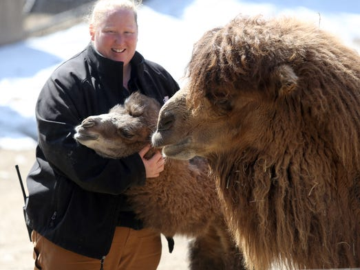 Keeper Lissa Browning gives some attention to Jack, an 8-day-old Bactrian camel and his mother Saarai during snack time at the Cincinnati Zoo & Botanical Garden on Thursday.