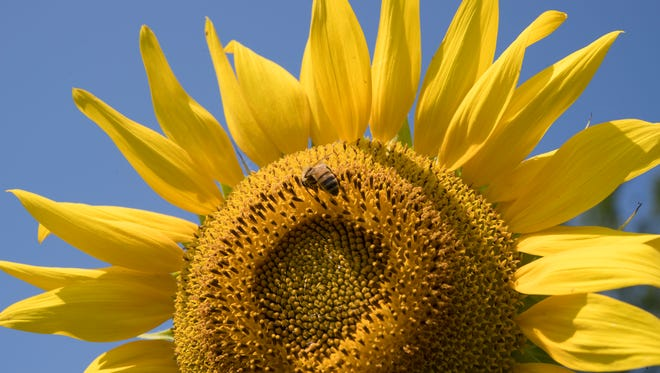 A closeup of a sunflower in Arrington, Tenn.