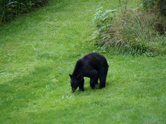 county resident spots young black bear in backyard