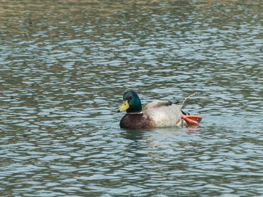 An injured Mallard duck at Kiwanis Lake was reported