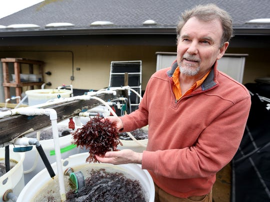 Chris Langdon, a marine scientist at OSUÕs Hatfield Marine Science Center, works with dulse seaweed growing in barrels on Tuesday, March 15, 2016. Dulse grows quickly, is full of protein and tastes like bacon when fried.