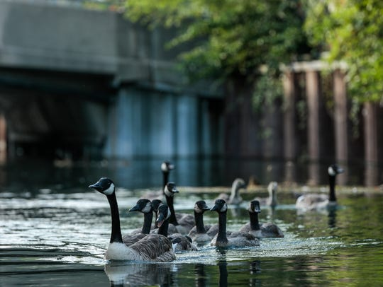 A flock of Canada geese travel through a canal on July