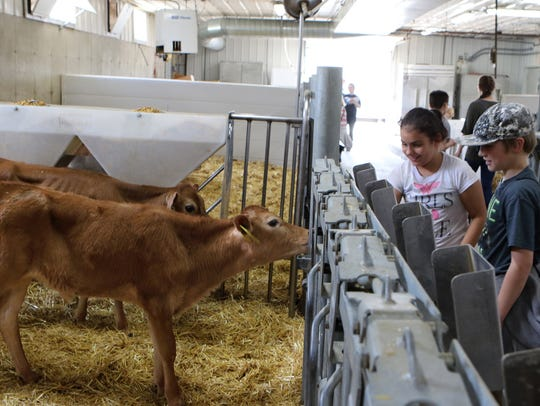 Students and calves meet during a fourth grade farm