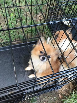 A powerful odor reported by neighbors led to Palmyra police intervening on South Harrison Street. A resident, a six-year-old child, 27 Pomeranians, and an African Grey Parrot were removed from the house.