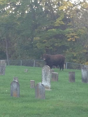 Police and fire officials in Goshen were called out to corral a bull Monday night.