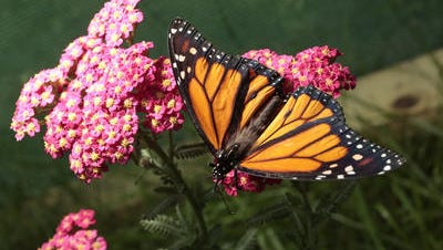 "Monarch butterfly from Greenburgh Nature Center's ""Walk Among Live Butteflies"" exhibit in June 2015."