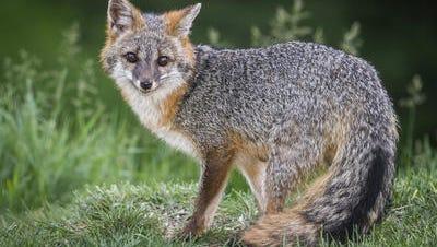 A rabid fox was found in East Brunswick.