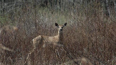 A deer spotted in the Great Swamp National Wildlife Refuge.