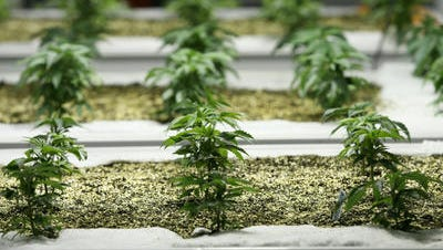 The La Quinta City Council has adopted a ban on marijuana cultivation and distribution but promised to explore an ordinance allowing delivery to those with medicinal needs.