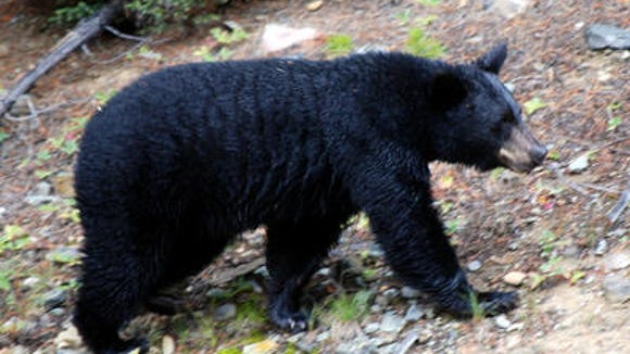 According to Tammy Wactor, wildlife biologist for the South Carolina Department of Natural Resources, the number of bears harvested during the two-week black bear season in 2014 was more in line with average trends.