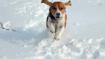"Felicia Lezon sent the Journal this picture of her honey beagle in LaGrange. She wrote, ""A snowy day isn't complete with out taking pictures of my beagle. She always makes me laugh as she's running in the snow."""