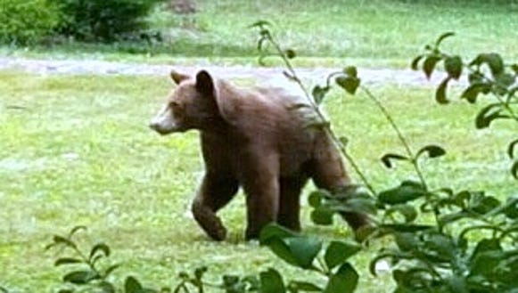 This bear was photographed last week while wandering