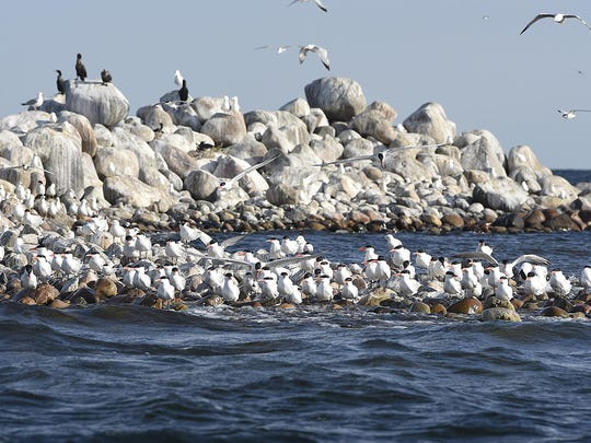 Several species of birds gather on Lake Mille Lacs' Hennepin Island in June 2015. The island is one-half of the Mille Lacs National Wildlife Refuge. Artificial habitats, AKA modified pontoon boats, being introduced this season are meant to keep the birds out of the big waves that wash their nests away during storms.