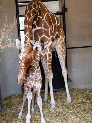 Cleo, a reticulated giraffe, checks on her newborn calf at Lee Richardson Zoo. This is the second calf for Cleo at the zoo.