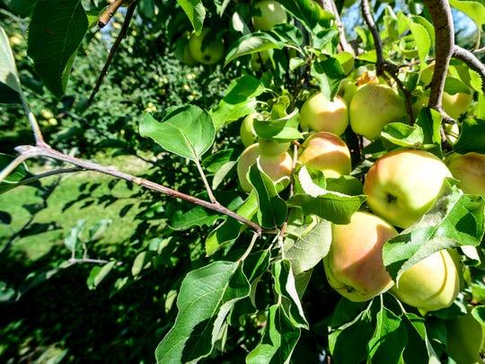 Local apples.
